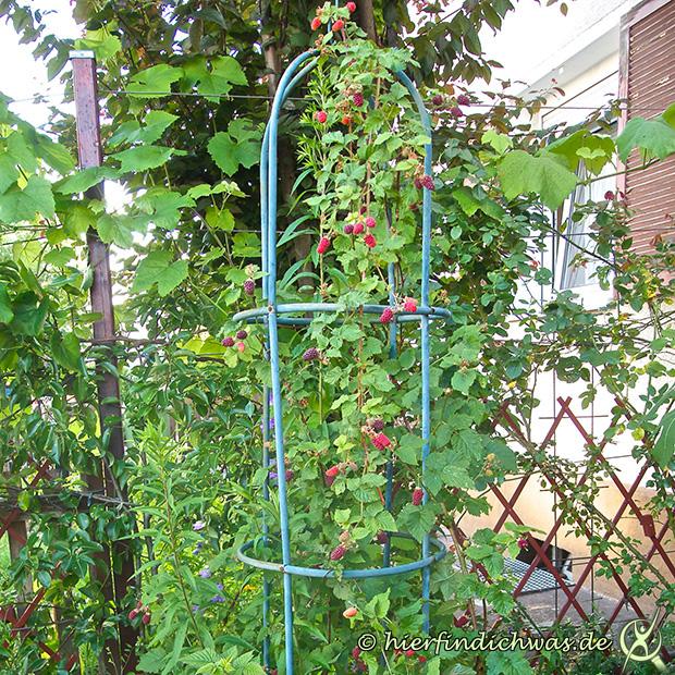 taybeere tayberry fuer gro e kleine gaerten frucht. Black Bedroom Furniture Sets. Home Design Ideas