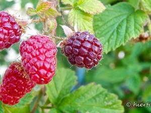 Tayberry, Taybeere, Anbau und Pflege